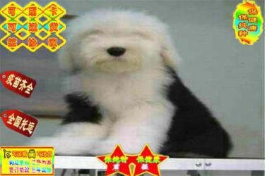 出售古代牧羊犬 白头通背双蓝眼 古牧幼犬纯种健