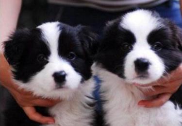 狗厂十周年大型活动,精品边牧特惠价,包健康送礼品