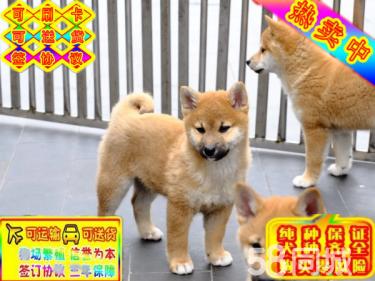 出售高品質柴犬純種精品日系柴犬疫苗齊全保健康保活