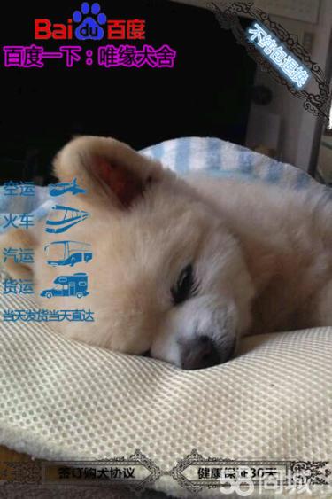 国外引进的国际赛季博美犬种犬 双血统幼犬代售