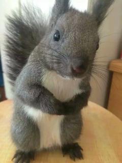 頭窩松鼠幼崽,品質有保障
