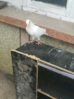 白色鸽子好鸽子孵出来的