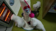 自己养的英短梵文折耳,蓝猫折耳喜欢的上门看