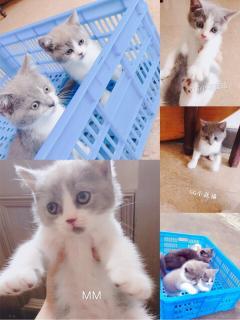 寵物家庭藍白貓咪