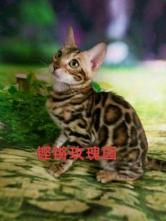 铿锵玫瑰豹园常年金沙官方平台精品豹猫