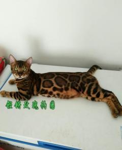 铿锵玫瑰豹园常年出售精品豹猫