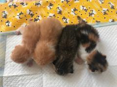金沙官方平台自家生育的加菲猫