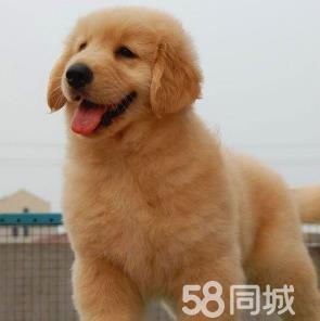 纯种大头大骨架金毛幼犬丶小巧可爱忠实伙伴、包健康