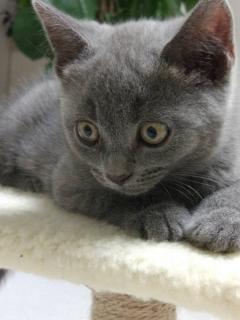 可爱的小蓝猫 两个月大