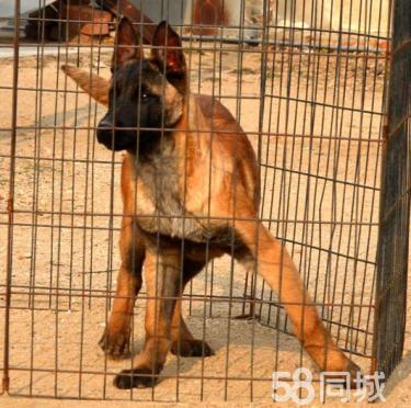 【CKU犬舍】出售��N比利�r�R犬�ёC��,可��l