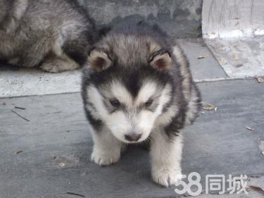 阿拉斯加养殖场直销一出售各类宠物一包养活签协拉