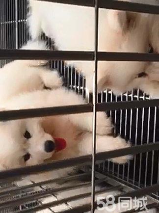 犬舍直销 精品萨摩 疫苗齐全 纯种健康