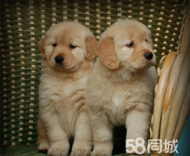 枫叶系金毛寻回犬、温顺体贴 高端儒雅伴侣犬最佳首选