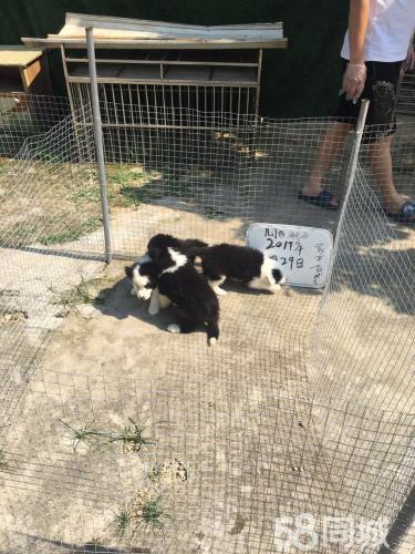 (邊牧)本地犬舍專業繁殖及家養抱窩