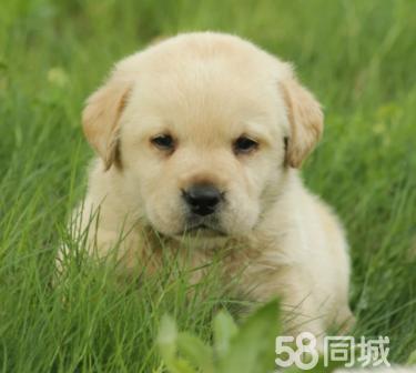纯种拉布拉多幼犬导盲猎犬拉不拉多幼犬宠物狗