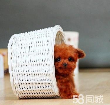 【超级萌货小体泰迪】【随时抱狗当场检测】