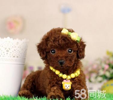超可爱纯种茶杯泰迪.玩具贵宾犬出售.健康.?#20998;?#20445;证