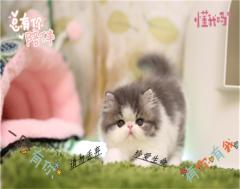 非常适合家庭饲养的 加菲宠物猫 正规猫舍繁殖