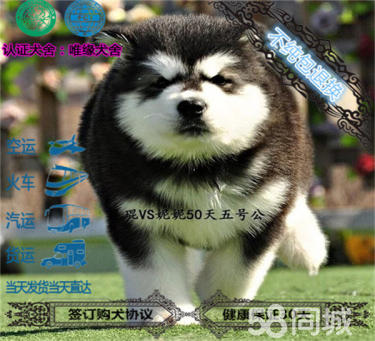 純種賽級血統的巨型阿拉斯加幼犬~品相好~阿拉斯加