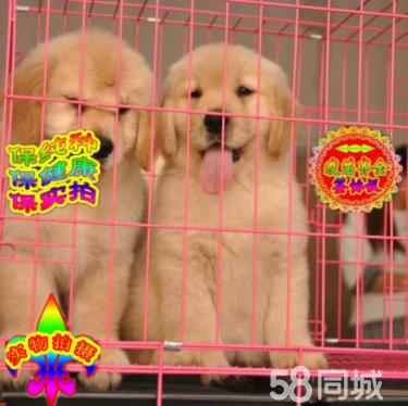 买金毛选正规金毛犬繁殖基地,品质信得过,售后有保证