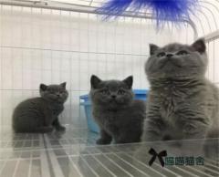 纯种高颜值蓝猫,随时视频或进店挑选