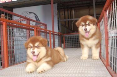 3个月的阿拉斯加 养殖场直销一出售各类宠物一包养活