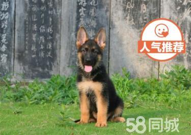 【協議質保】正規德牧養殖場 居家必備良犬 折扣價