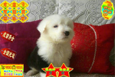 纯种白头通背古牧幼犬 公母均有 协议质保