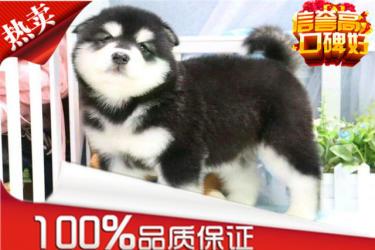 出售红色黑色巨型熊版阿拉斯加犬,签终身合同包健康