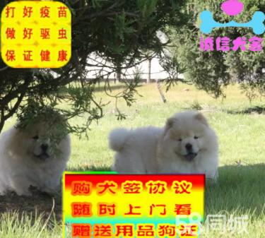出售純種精品松獅幼犬 保健康保質量 公母都有