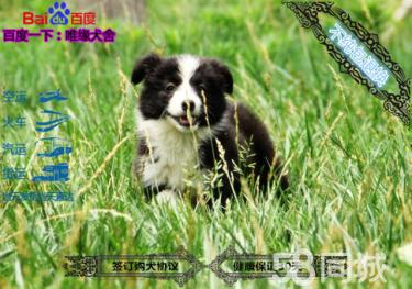 犬舍带芯片双血统纯种边境牧羊犬保证健康可签订协议