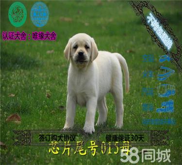 20年专业繁殖拉布拉多犬,血统纯正签协议包养活