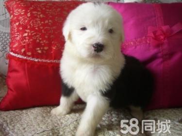 ��N白�^�{眼古牧 高品�|幼犬疫苗做�R 幼犬出售