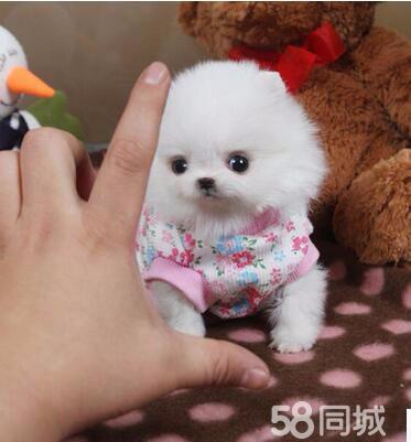 博美犬 俊介 毛毛球超可愛 價錢美麗 可視頻