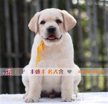 高品質的賽級拉布拉多幼犬出售了 疫苗做完 質量三包