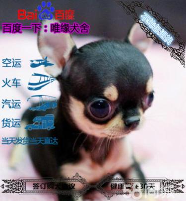 犬舍帶芯片雙血統純種吉娃娃保證健康可簽訂協議