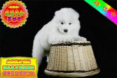 出售高贵优雅微笑天使萨摩耶幼犬 雪白无泪痕帅气拉风