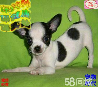 高品质双血 吉娃娃幼犬,大骨量,随时可以看狗可送货
