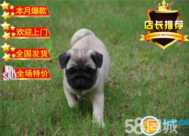AC国际联保专业繁殖基地赛级巴哥幼犬签合同实地选狗