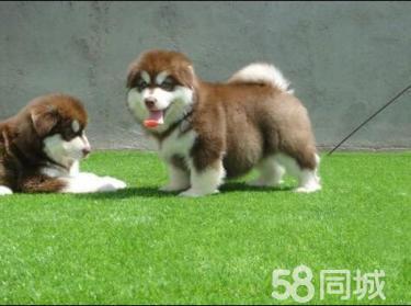 高品�|阿拉斯加幼犬 霸�馐�足�^��拉�L �f�h出售