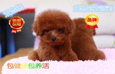 纯种韩系泰迪熊犬舍直销,签协议,包纯种健康