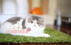 长相甜美可爱加菲猫 签协议包健康CFA猫舍专业繁殖