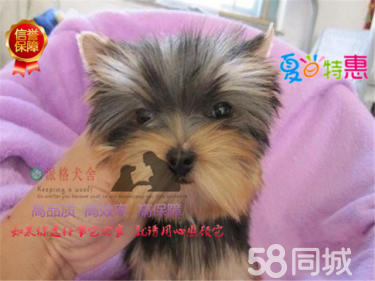 高品质纯种约克夏犬,犬舍繁殖健康质量保证可送货