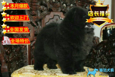 高品質松獅 純種 幼犬 肉嘴 松獅狗 寵物狗包純種