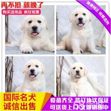 夏季买狗养狗特别注意拉布拉多宝宝出售包健康包纯正
