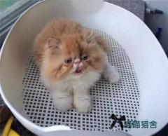 出售 波斯猫 波斯猫 波斯猫 重要的事情说三遍
