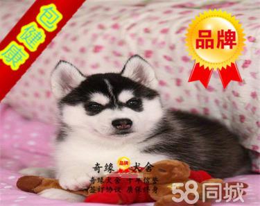 精品纯种三火蓝眼哈士奇幼犬出售,保证健康,保证纯种