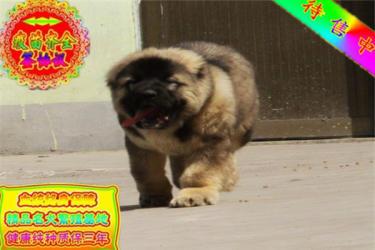 金沙官方平台护卫犬巨型高加索犬纯种宠物狗狗活体狼青色高加索