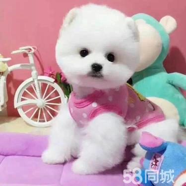 家养博美.比熊。泰迪。包漂亮包实惠包健康