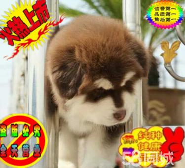极品熊版阿拉斯加幼犬出售 包纯种 保健康可签协议